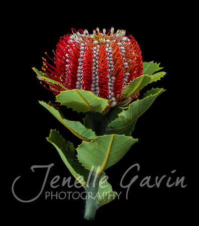 Banksia coccinea, side view