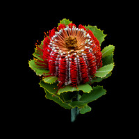 Banksia coccinea, top view